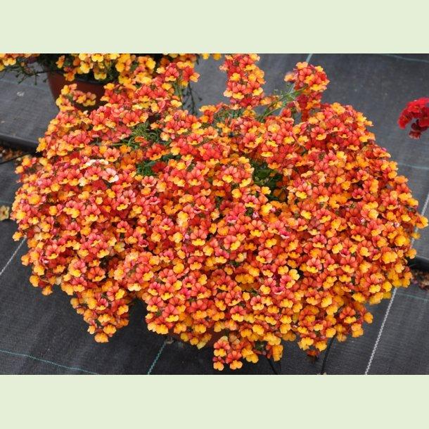 Sunsatia Little Orange