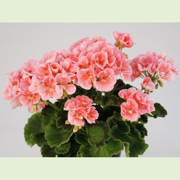 Pelargonium 'Rosino'