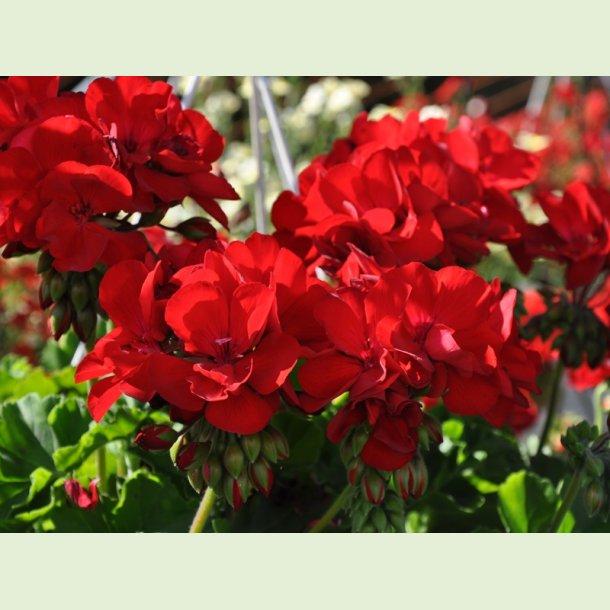 Pelargonium Champion Red
