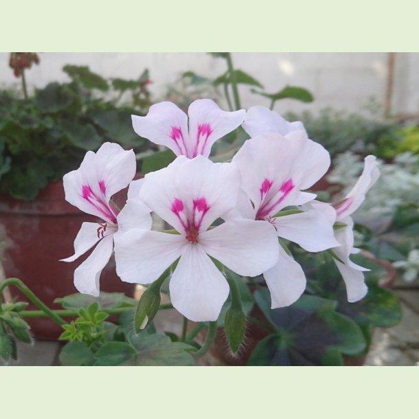 Pelargonium peltatum 'Rainbow White'