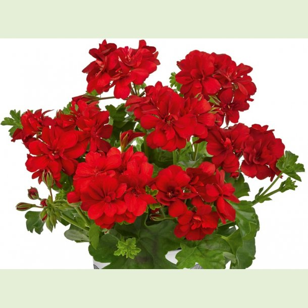 Pelargonium peltatum 'Big5 Red'