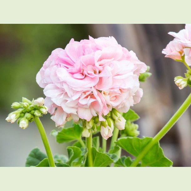 Pelargonium 'Dronning Ingrid'