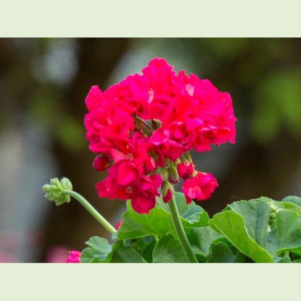 Pelargonium 'Dronning Margrethe'