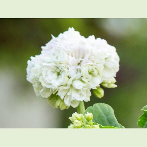 Pelargonium 'Kronprinsesse Mary'