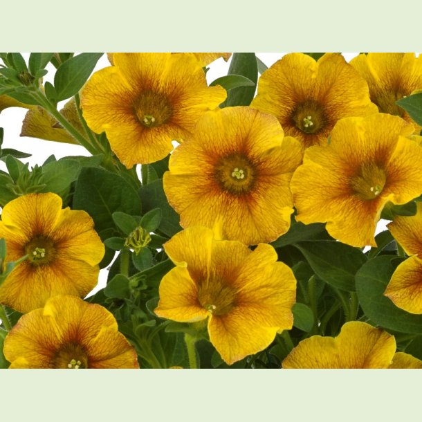 Petchoa 'Caramel Yellow'