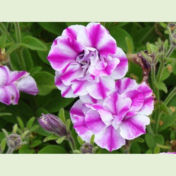 'Amarena Twist'  (petunia)