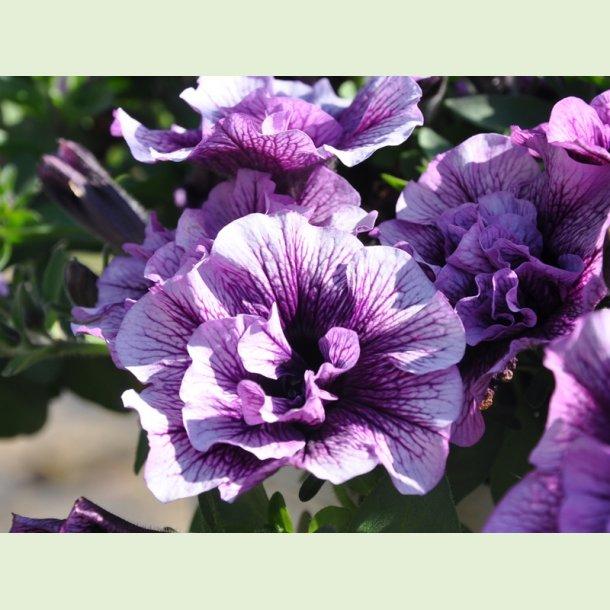 Petunia 'Cassis Queen'