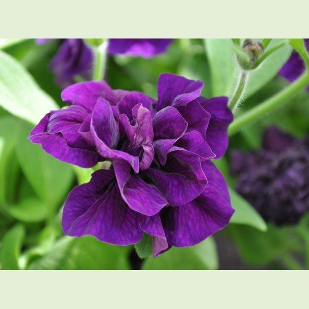 Petunia Doble Dark Blue