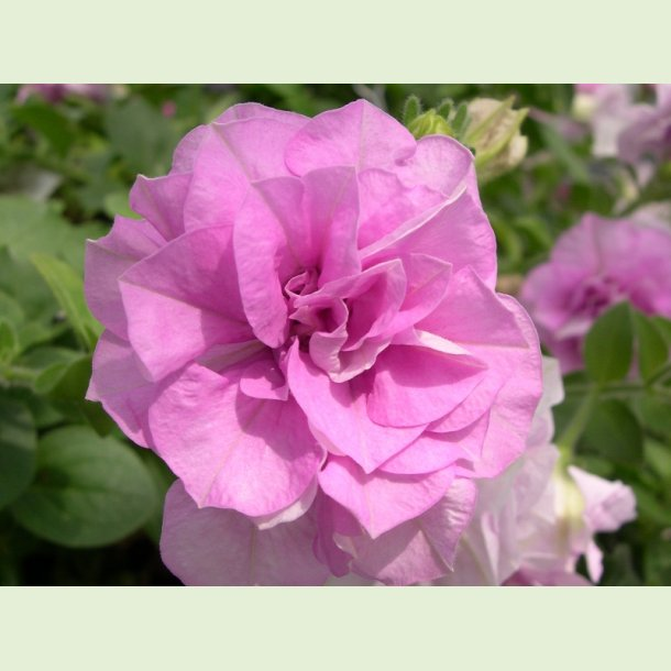 Petunia Doble Lavender