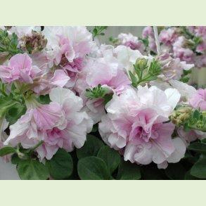 Petunia med dobbelte blomster - DOBLE