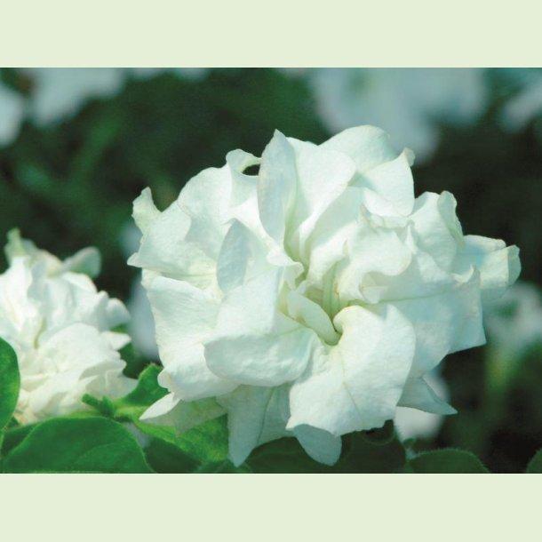 Petunia Doble White