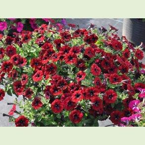 Petunia, kompakte til middelstore