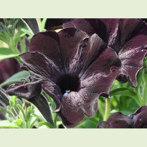 Petunia 'Nerolina'