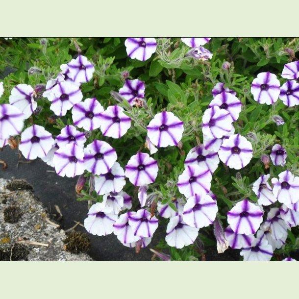 Petunia 'Violet Star'