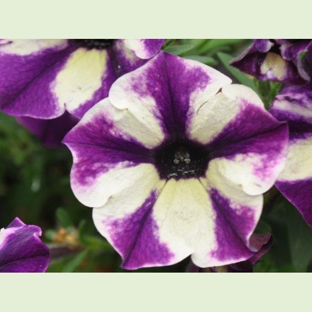 Petunia 'Grape Star'