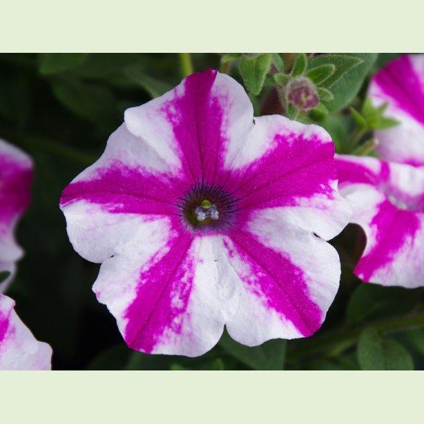 Petunia 'Lovie Dovie'