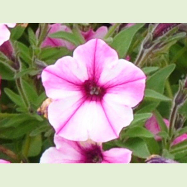 Petunia 'Pink Star'