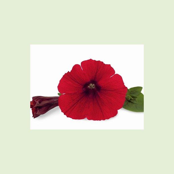 Veranda Scarlet