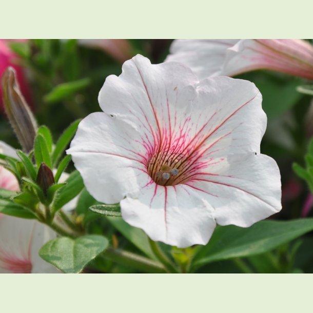 Vista Silverberry