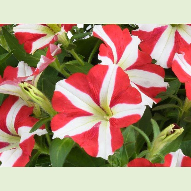 Petunia Amore 'King of Hearts'