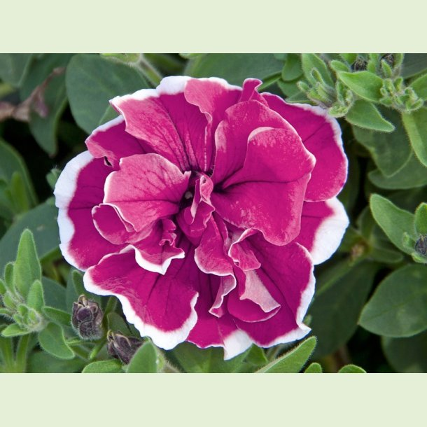 Petunia SweetSunshine Magenta