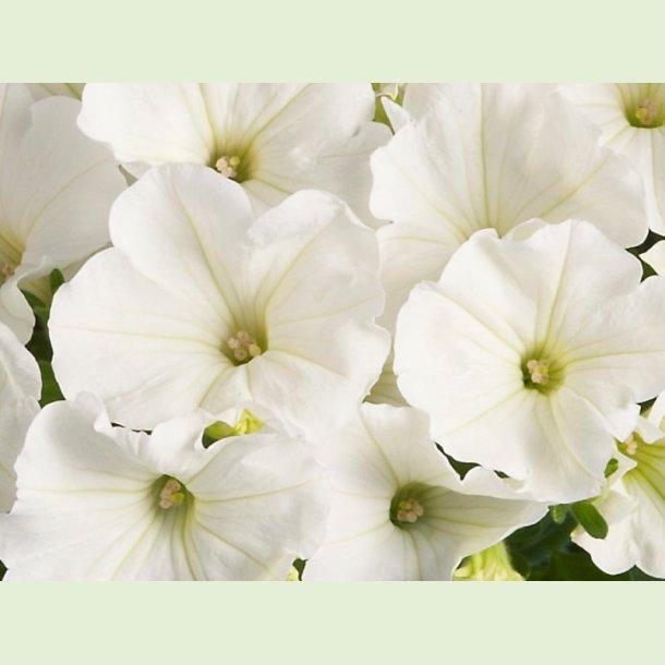 Petunia Viva 'Snowy White'
