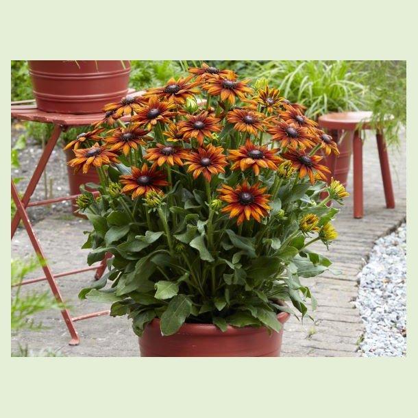 Rudbeckia Summerina 'Orange'
