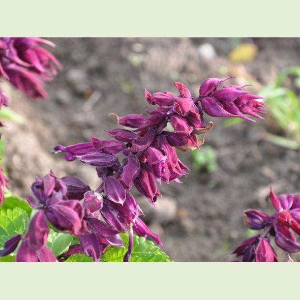 Salvia GoGo Purple