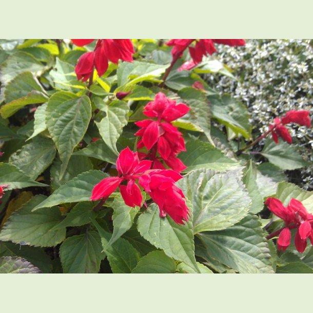Salvia GoGo Scarlet