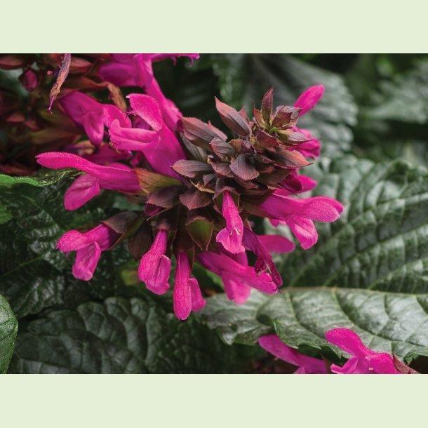 Salvia 'Rockin' Fuchsia'
