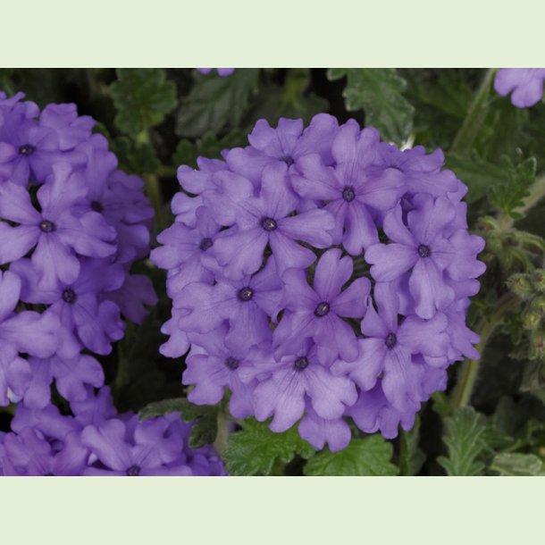 Verbena 'Blue'