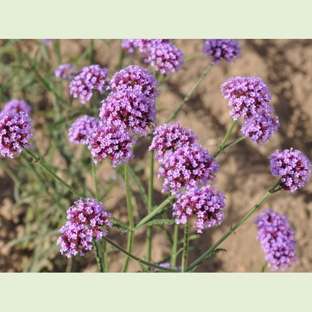 Verbena bonariensis 'PurpleTower'