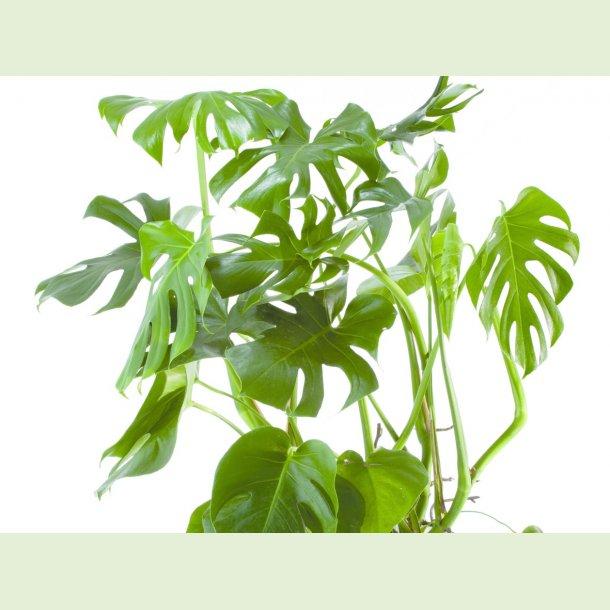 Monstera deliciosa - Fingerfilodendron